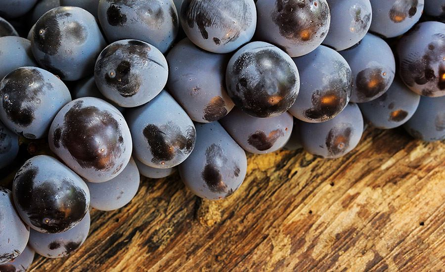 Concord-grapes_featured