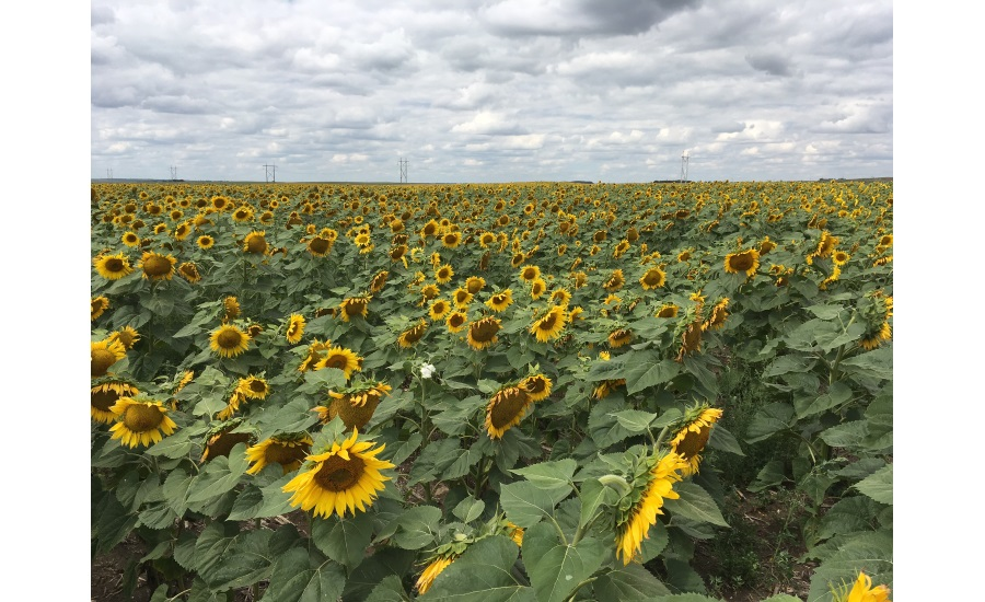 Sunflower field, Bismarck, ND