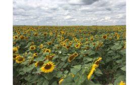 Sunflower field, Bismarck, ND