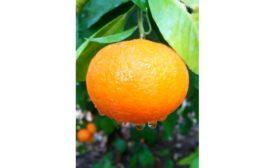 Orri Jaffa mandarin