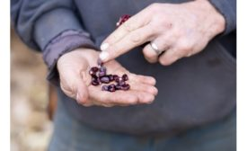 HEALTHY FOOD INGREDIENTS PUBLISHES WHITE PAPER ON ANTHOCYANINS IN SUNTAVA PURPLE CORN