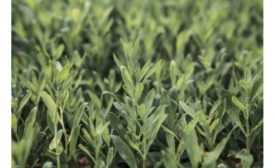 Ingredion and S&W enter into exclusive U.S. stevia pilot production supply agreement